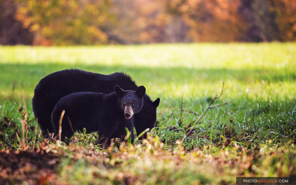 Black Bear Cub with Mamma Bear